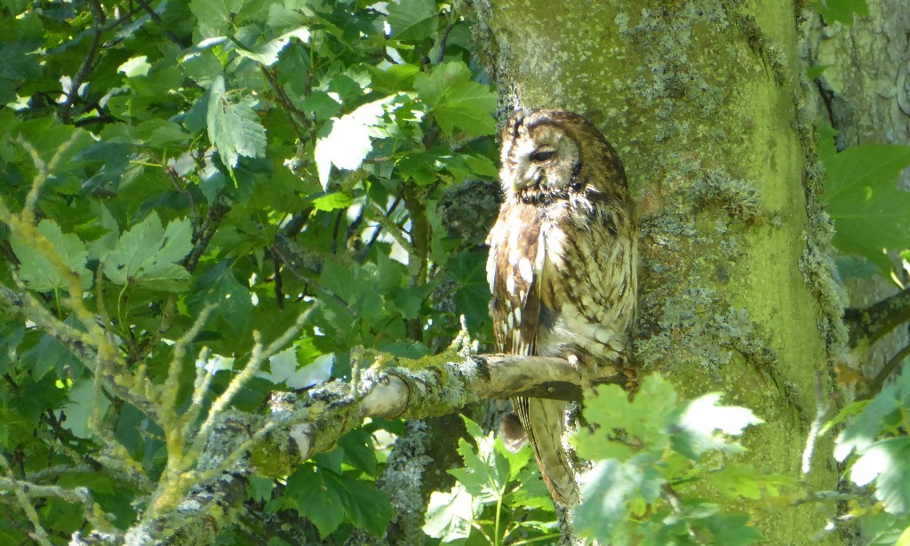 Country diary: I enjoy the company of a female tawny owl as I garden