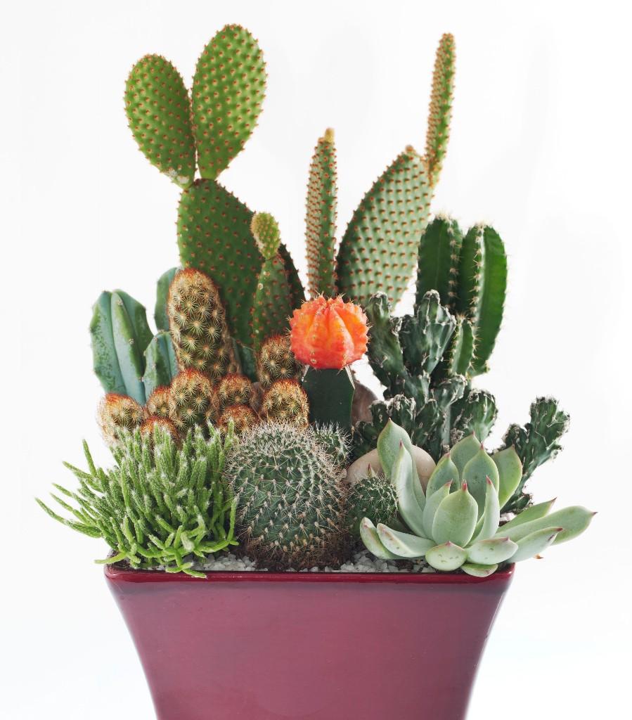 cactus - cover