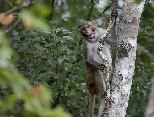 Furry, cute and drooling herpes: what to do with Florida's invasive monkeys?