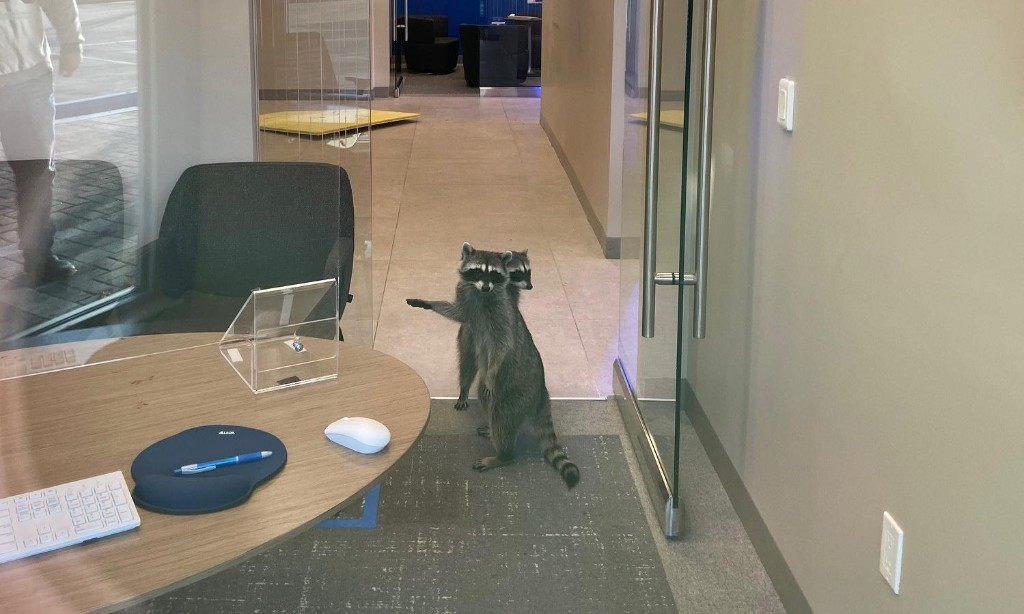 Hand over the trash: raccoons break into California bank