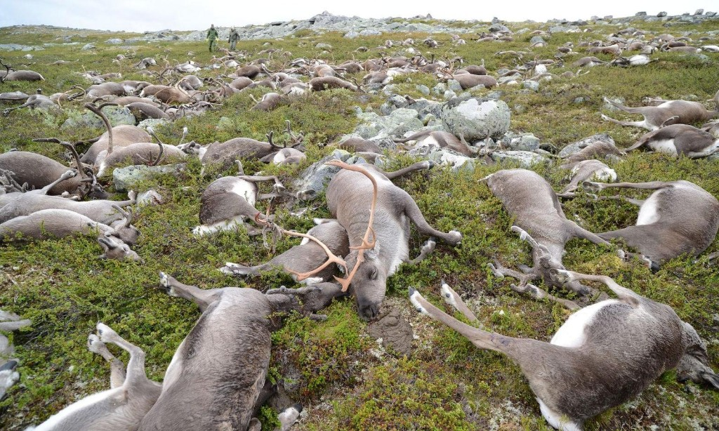 'Landscape of fear': what a mass of rotting reindeer carcasses taught scientists