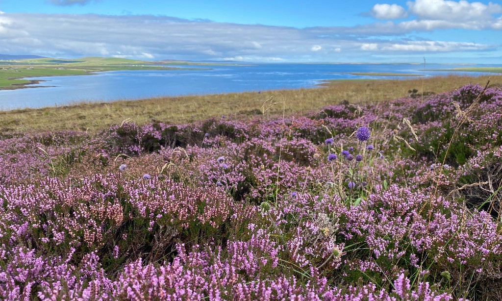 Country diary: rich purple heather marks a year on the island