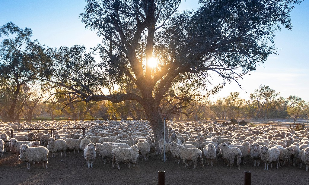 Australia's sheep left without shearers as Covid halts travel from New Zealand
