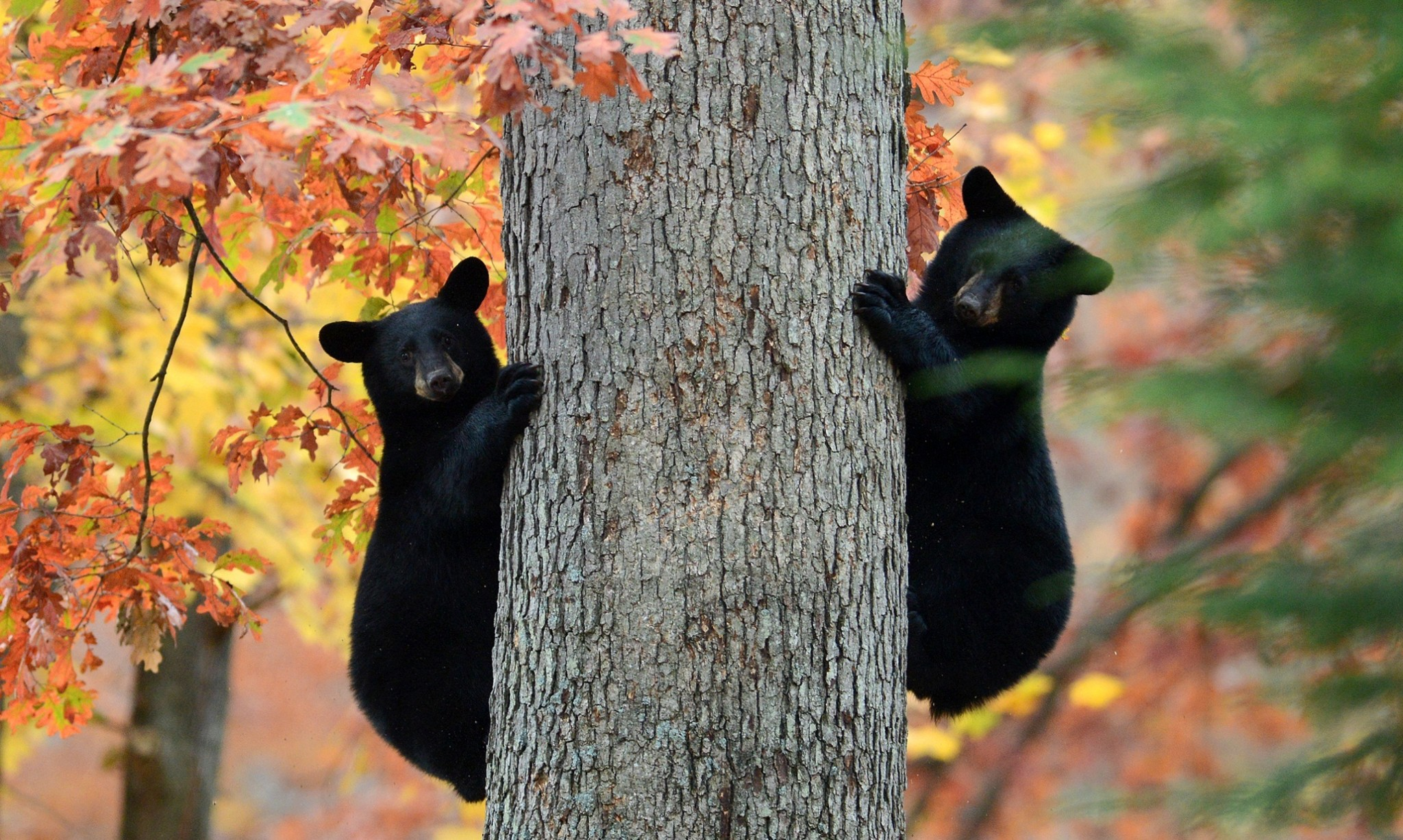 Hibernating bears could hold the key to long-distance space travel