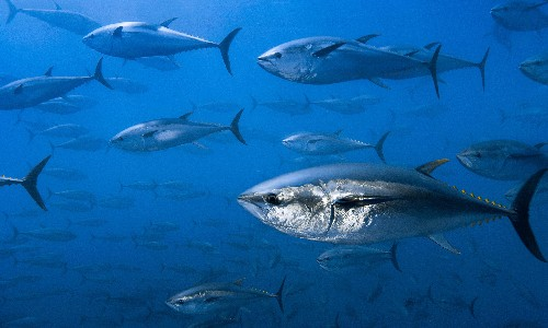 Tuna and mackerel populations suffer catastrophic 74% decline, research shows