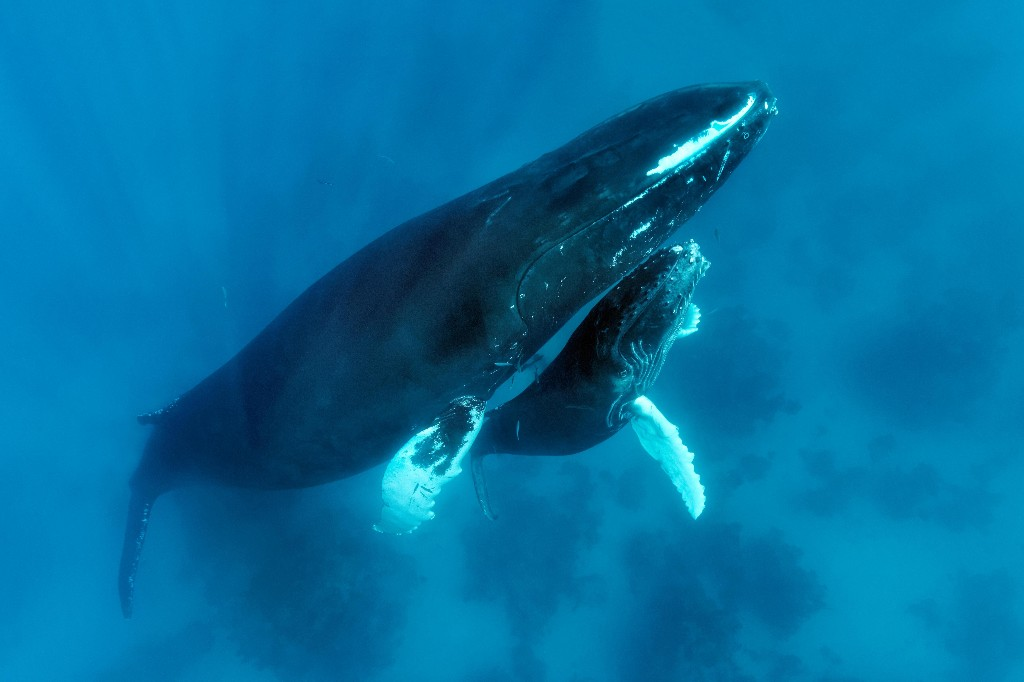 'Yeah, I'm in trouble': man who rescued whale calf caught in Queensland nets faces $27,000 fine