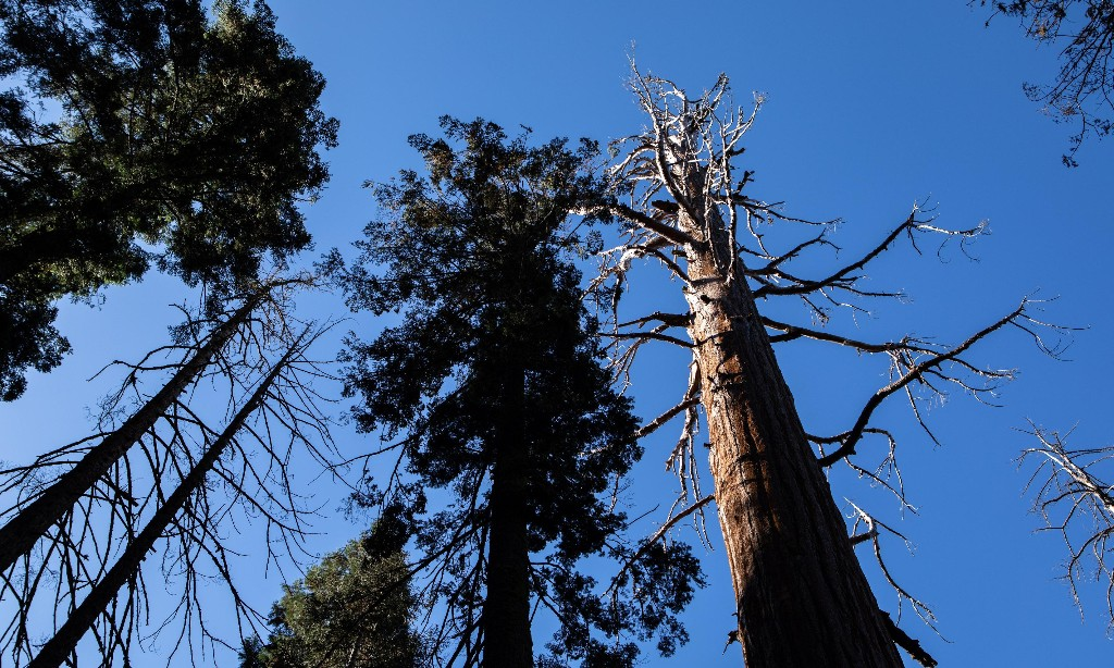 'This is not how sequoias die. It's supposed to stand for another 500 years'