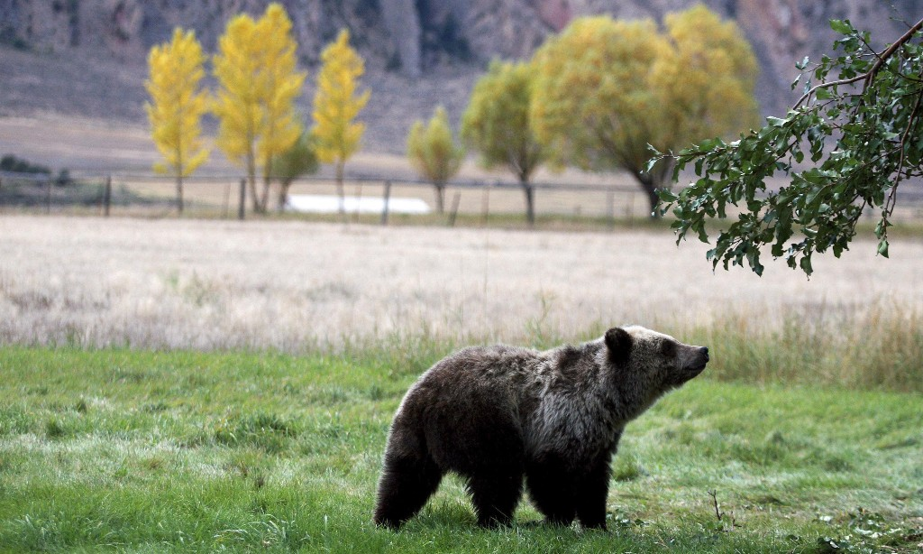 Victory for Yellowstone's grizzly bears as court rules they cannot be hunted
