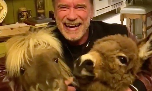 Arnold Schwarzenegger and his tiny horses urge people to stay home