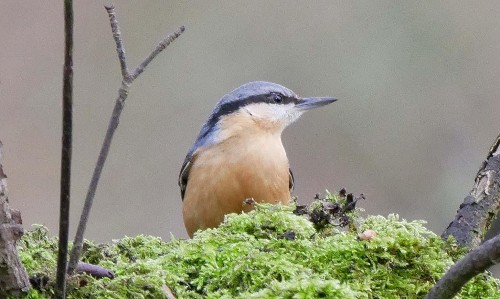 Country diary: nuthatches continue their northerly advance
