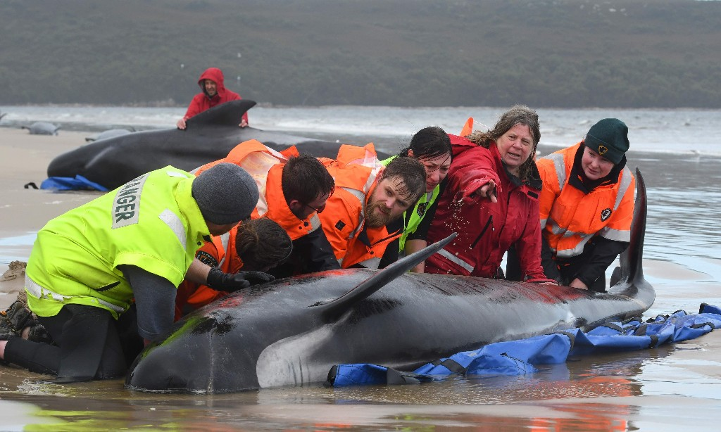 Death at Hells Gates: rescuers witness tragic end for hundreds of pilot whales on Australian coast