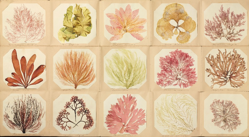 What Victorian-era seaweed pressings reveal about our changing seas