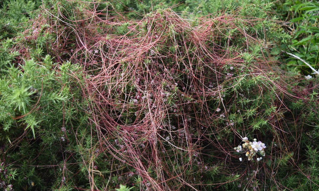 Country diary: dodder is such a pretty parasite