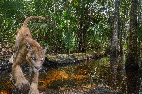 Images offer glimpse into life of endangered Florida panther