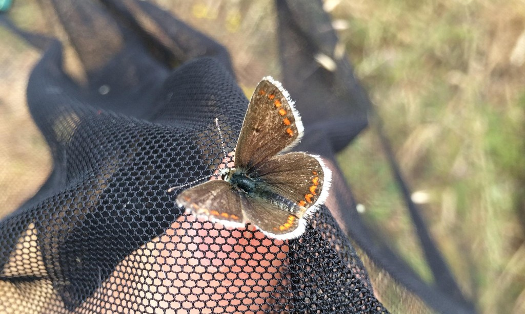 Scientists take temperatures of butterflies to uncover climate threat