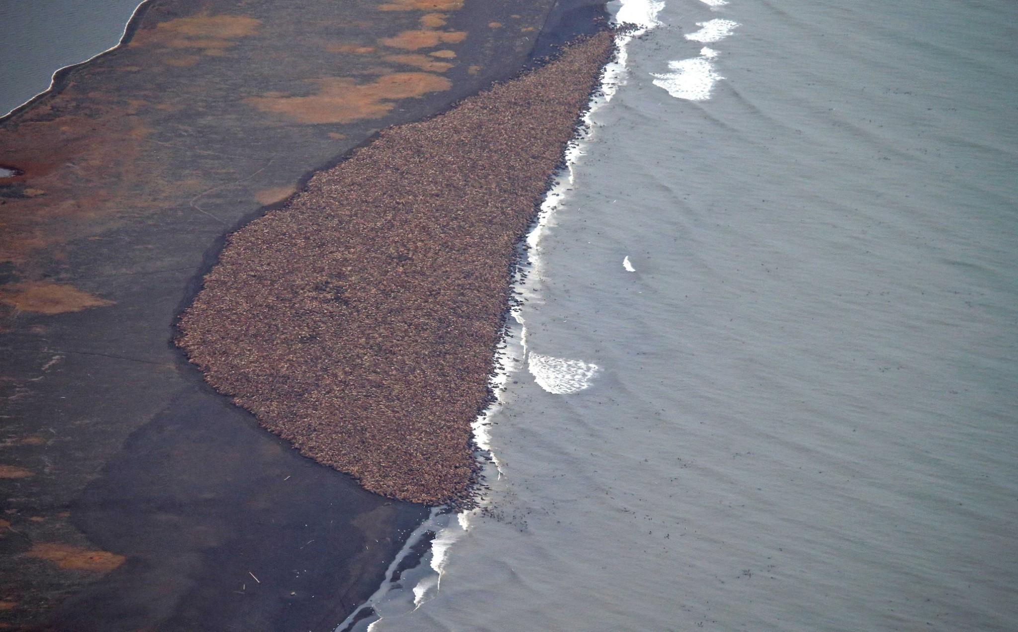 Walrus mass on Alaska beach - in pictures
