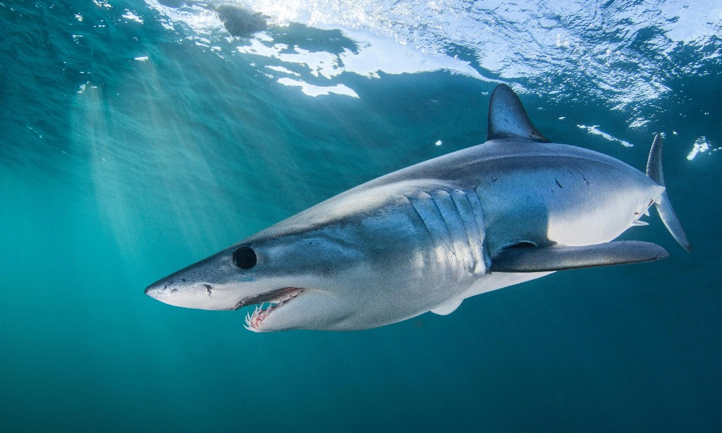 EU and US block plans to protect world's fastest shark