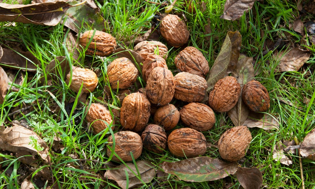 How to grow walnuts