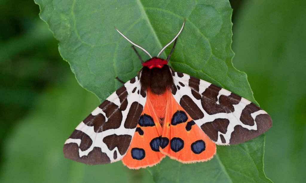 Country diary: even the dowdiest day-flying moths deserve a closer look