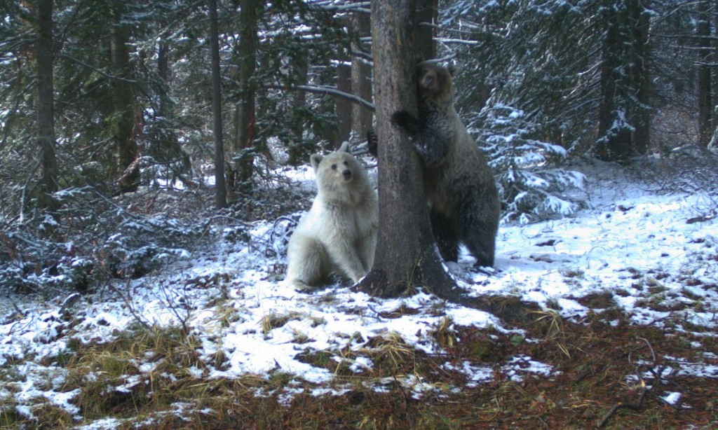 Rare white grizzly bear sighted in Canadian Rockies