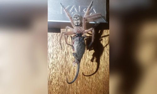 'Epic photo': huntsman spider eats pygmy possum in Australia