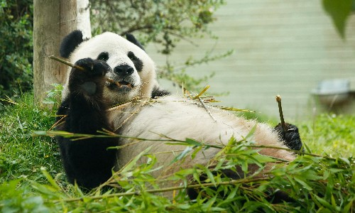 Failed million-pound bid for Scottish panda 'has been a disgrace'