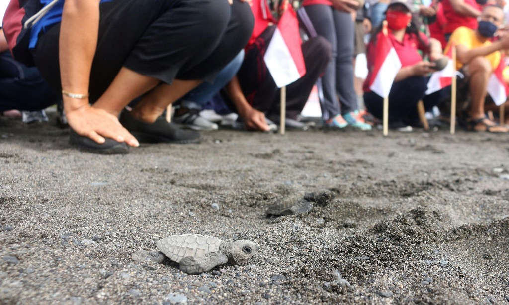 Thousands of baby turtles released into sea off Bali