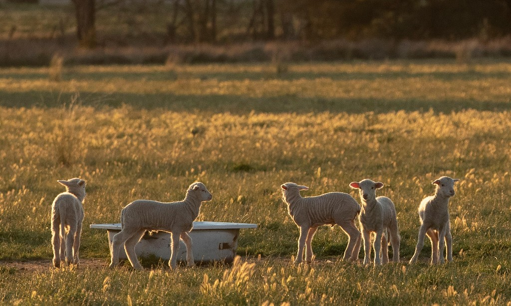 Australian lamb industry hit as Qatar cancels subsidy on $300m-a-year trade