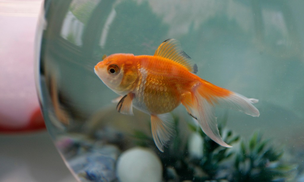 Going for gold: pet firm reports resurgence in fish-keeping