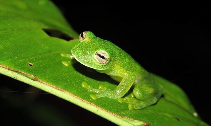 Why glass frogs have see-through skin becomes clear in study