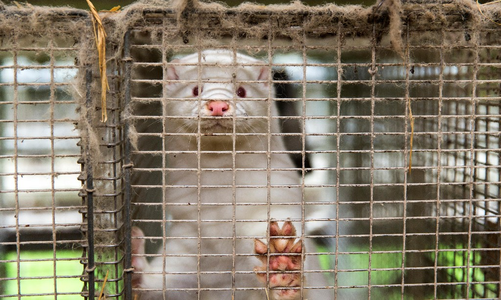 Culled mink rise from the dead to Denmark's horror