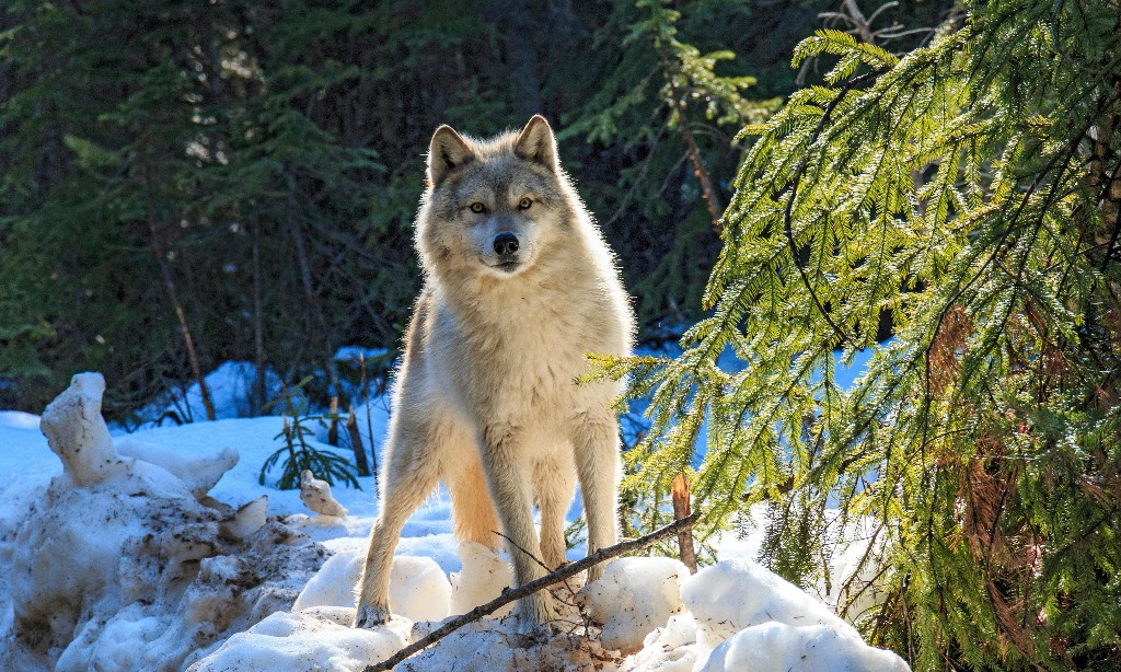 Wolves, Coyotes, Dingos, and Dogs - Titel