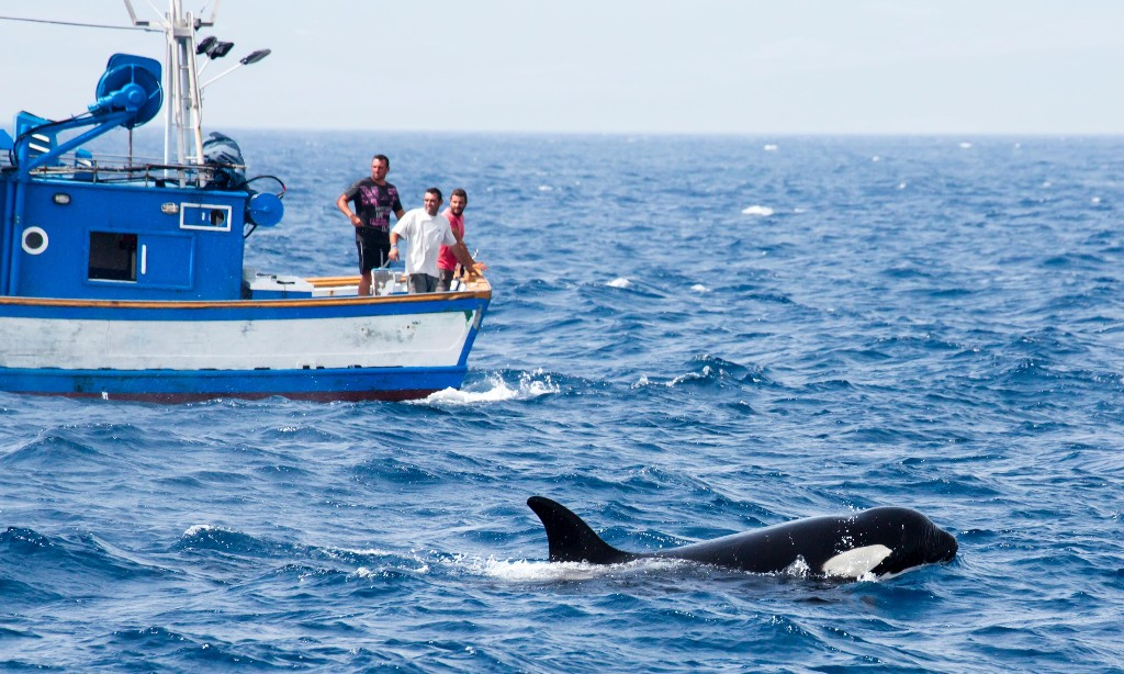 Scientists baffled by orcas ramming sailing boats near Spain and Portugal