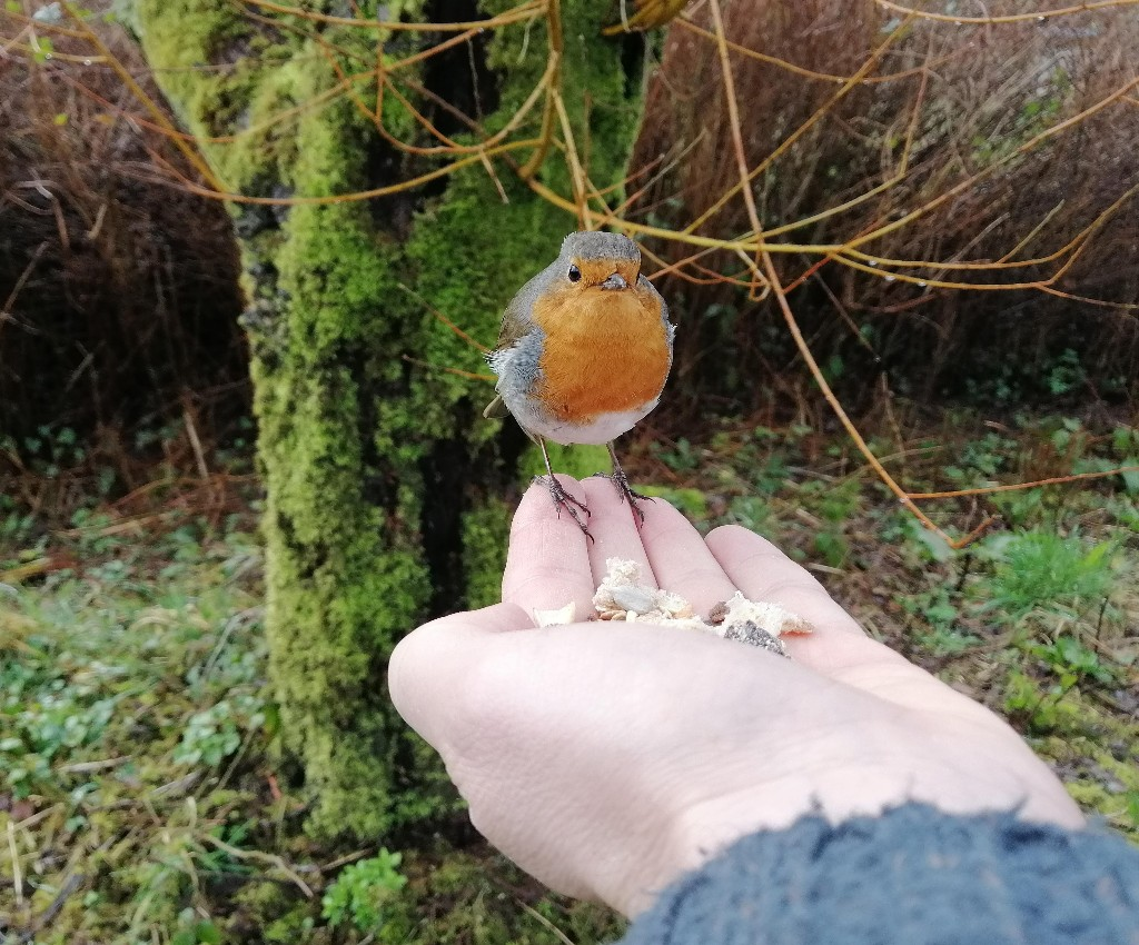 Country diary: winning the trust of a friendly robin
