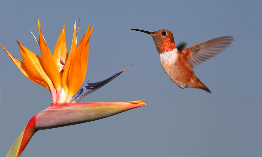 Bright feathers, bright brains: hummingbirds 'can order numerically'