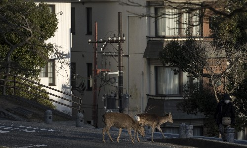 Emboldened wild animals venture into locked-down cities worldwide