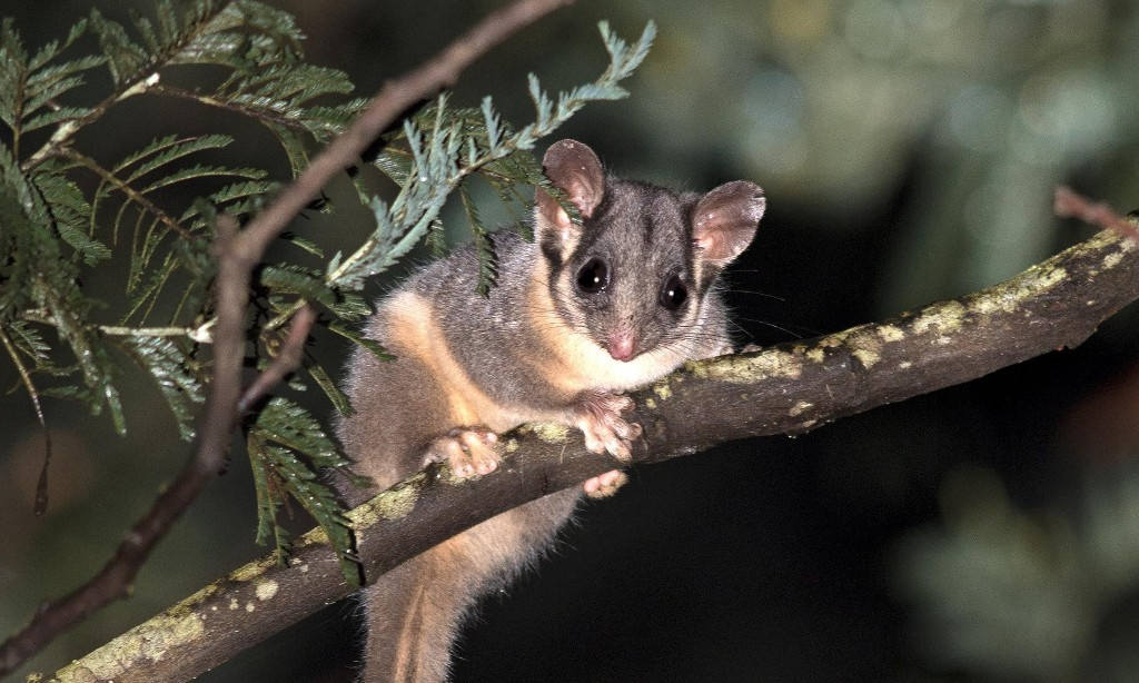 Australian threatened species at risk with no recovery plans finalised in past 18 months