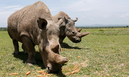 Chinese man caught smuggling five rhino horns is jailed by Dutch court