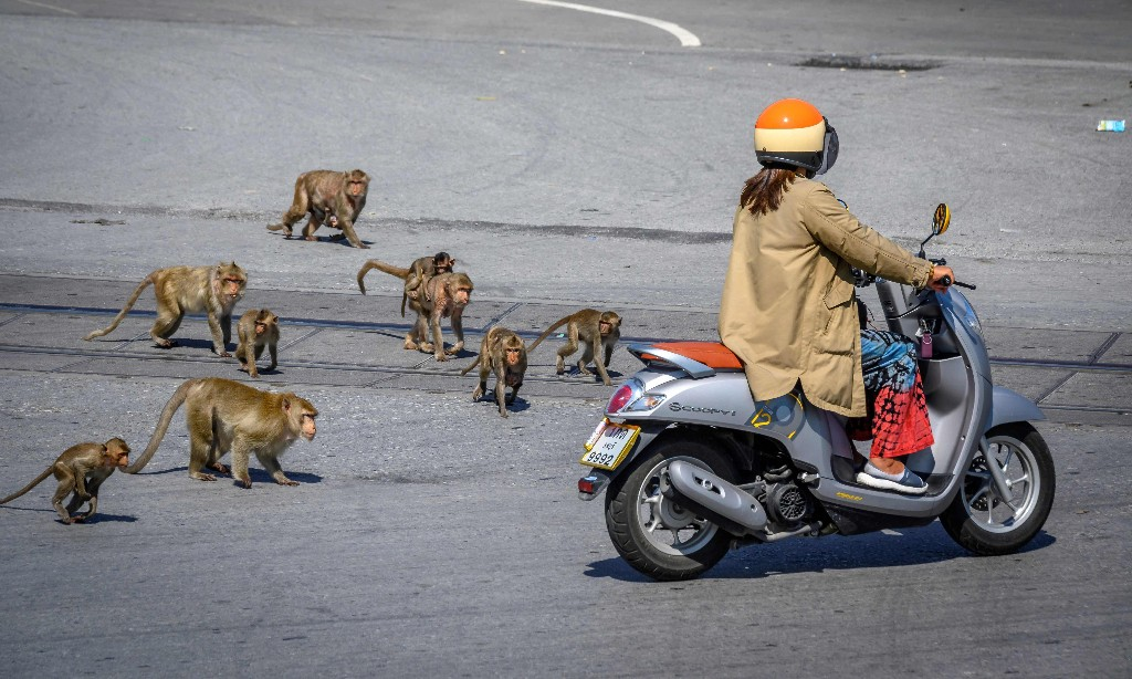 'We live in a cage': residents hide as macaque 'gangs' take over Thai city