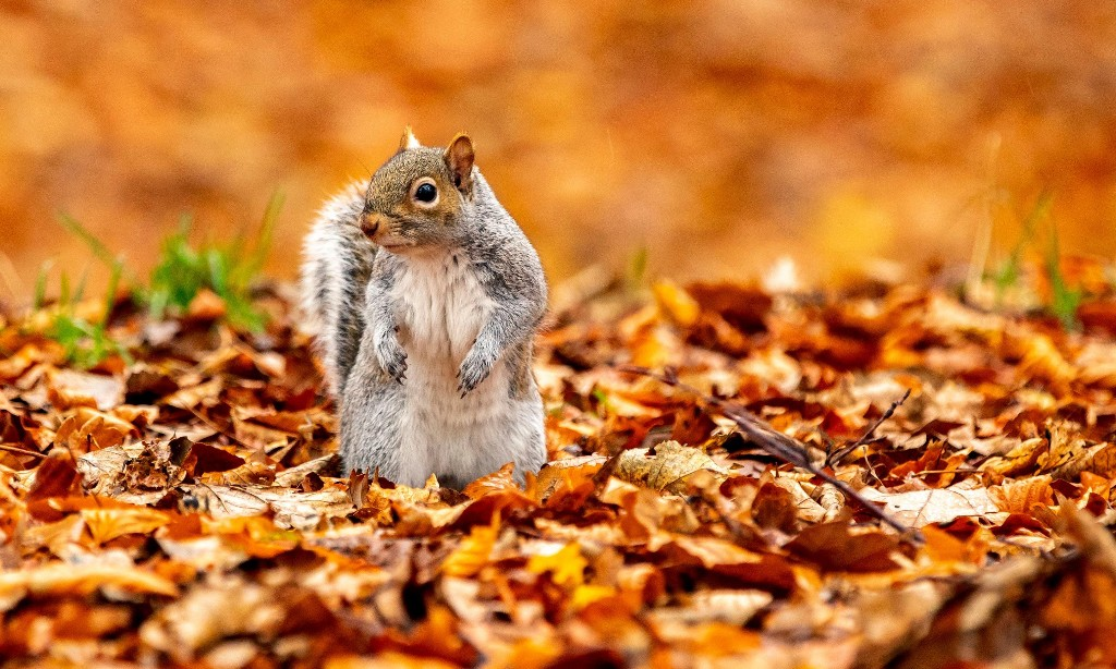 Pie-eyed and bushy-tailed: Minnesota squirrel gets drunk off fermented pears