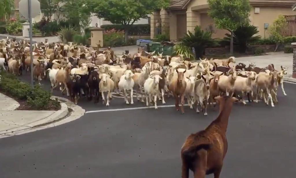 Grazing hell: 200 escaped goats hoof it through California neighborhood