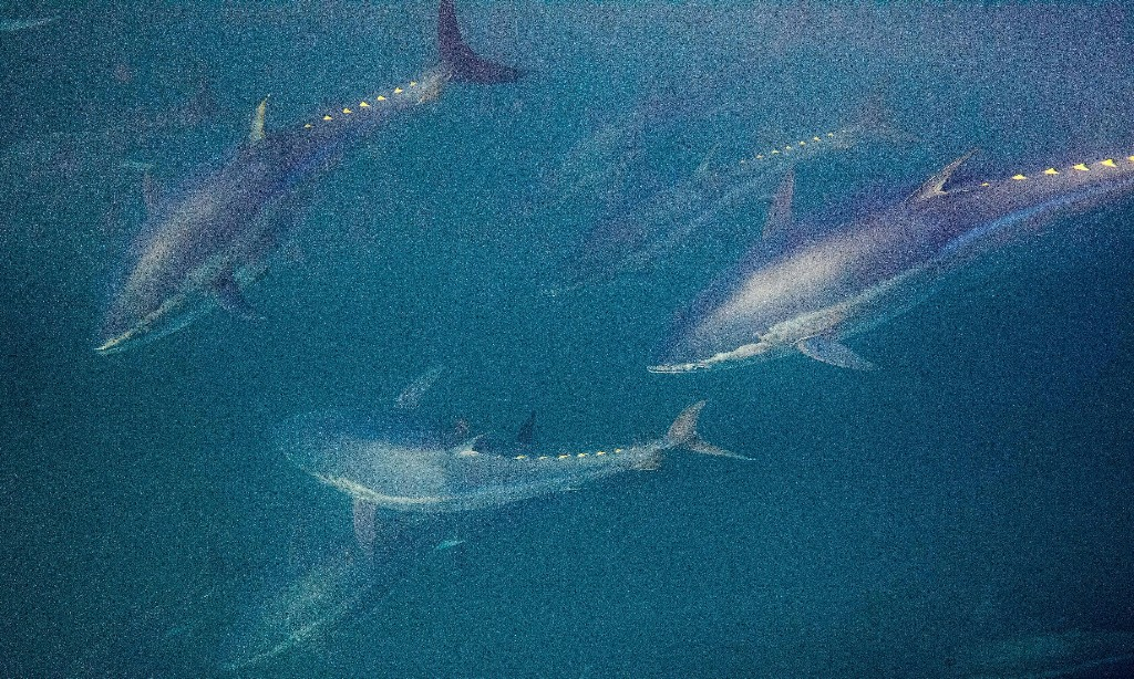 Bid to grant MSC 'ecolabel' to bluefin tuna fishery raises fears for 'king of fish'