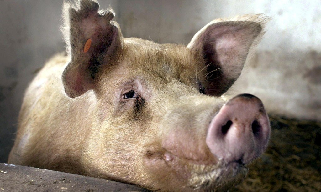African swine fever outbreak reported in western Poland