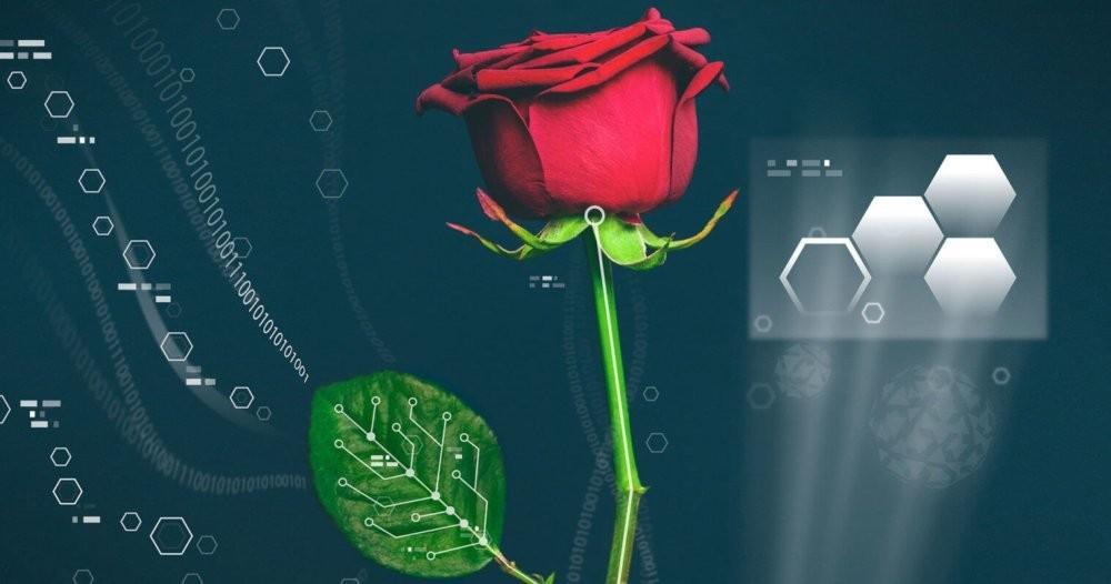 Учёные смогли вырастить провода внутри роз