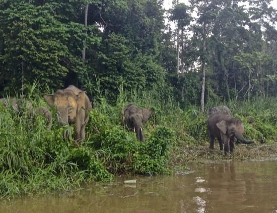 Spotting Borneo's Wild Orangutans, Pygmy Elephants, and Proboscis Monkeys--on a Budget