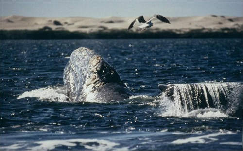 Save the Whales, Save Ourselves: Why Whales Matter