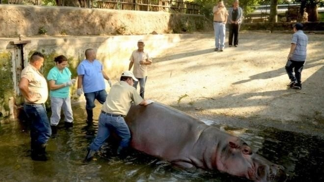 El Salvador Zoo Hippo Died From Poor Care, Not Beating, Prosecutors Say