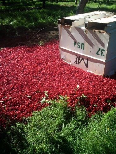 Farmer Forced To Dump Insane Amount Of Gorgeous Cherries