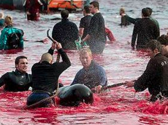 Sea Shepherd Protects Pilot Whales From Bloodbath
