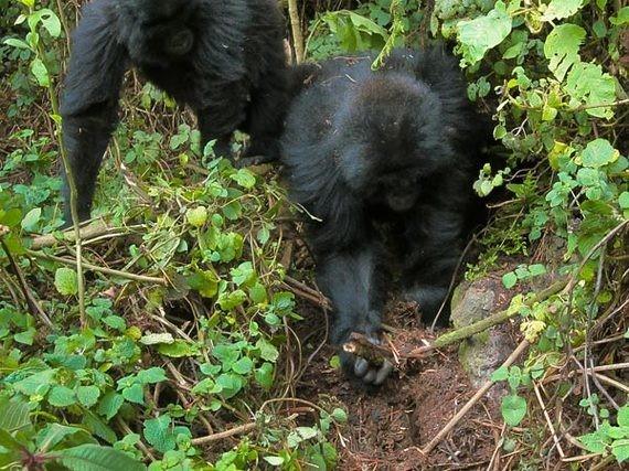 Gorillas Fight Back Against Loathsome Poachers